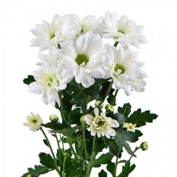 Зеленые хризантемы (30 фото): обзор сортов кустовой хризантемы «филин грин», «лизард» и других
