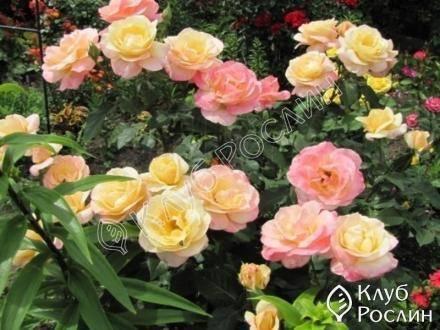 «глория дей» - самая знаменитая роза хх века