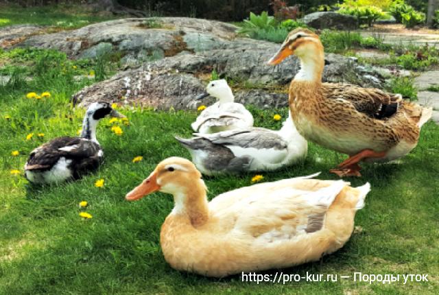 Утка каюга: описание породы, фото, содержание и уход, плюсы и минусы, отзывы