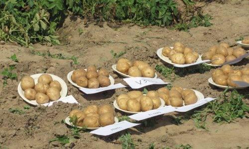 Лучший сорт картофеля для подмосковья