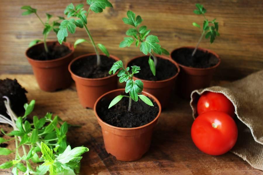 Как вырастить помидоры из семян: как правильно сеять и организовать высадку своих томатов и уход за ними?
