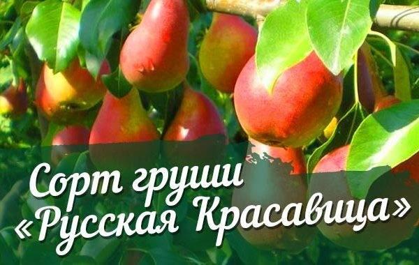 Груша «красавица черненко»: характеристика сорта и защита от болезней