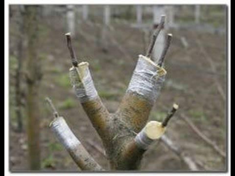 Прививка яблони весной, летом и осенью: пошаговое руководство для начинающих