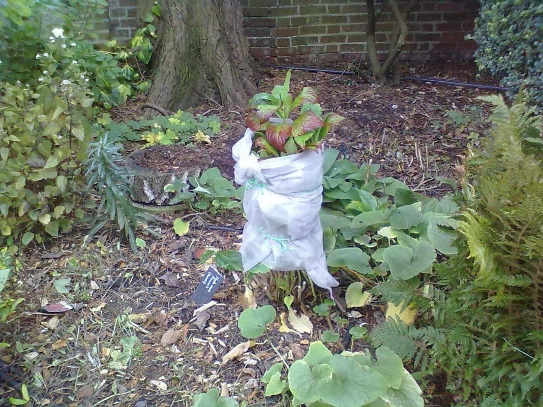 Как укрыть гортензию на зиму: процедура, которую нужно обязательно сделать! | красивый дом и сад
