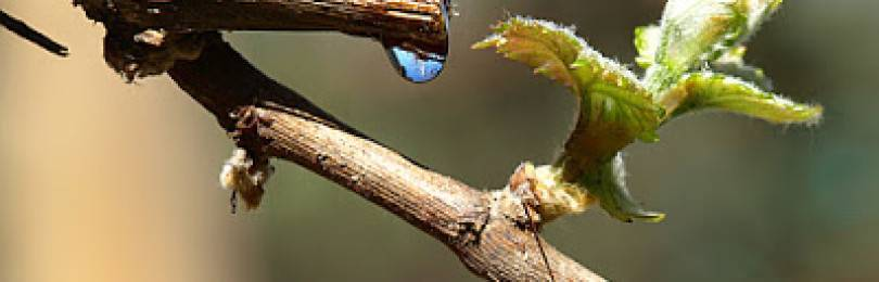 Почему плачет виноград весной, что делать если после обрезки осенью течет сок