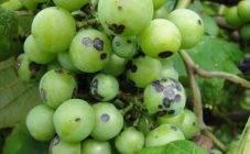 У вашего винограда желтеют и засыхают листья? узнайте, что нужно делать!