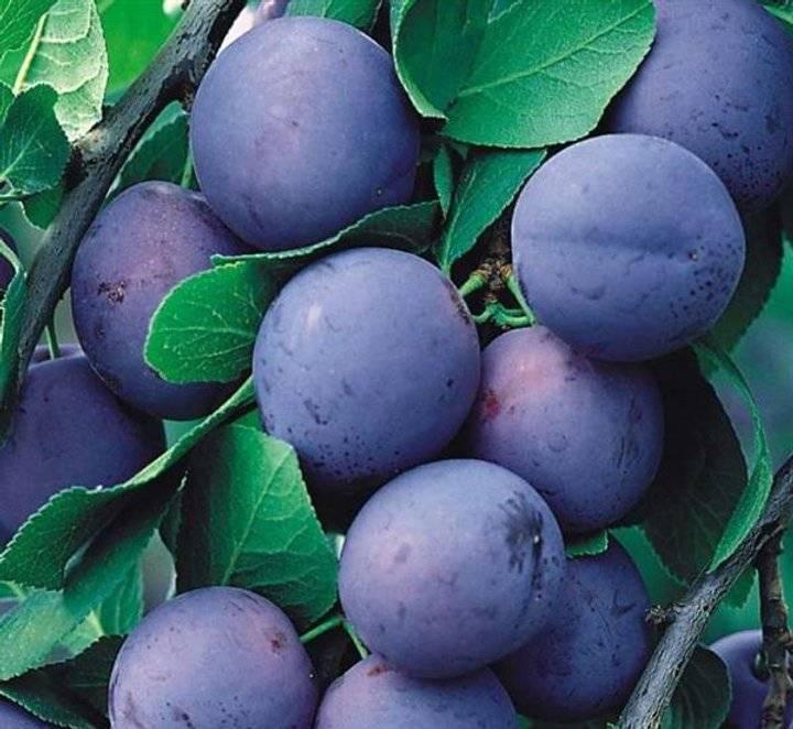 Слива скороплодная — одна из первых отечественных «китаянок»