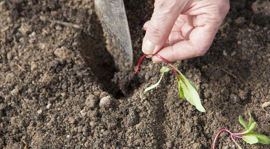 Когда сеять свеклу в открытый грунт и как правильно ухаживать: посадка и выращивание свеклы
