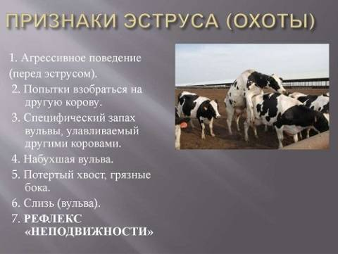 Как выглядит корова в охоте