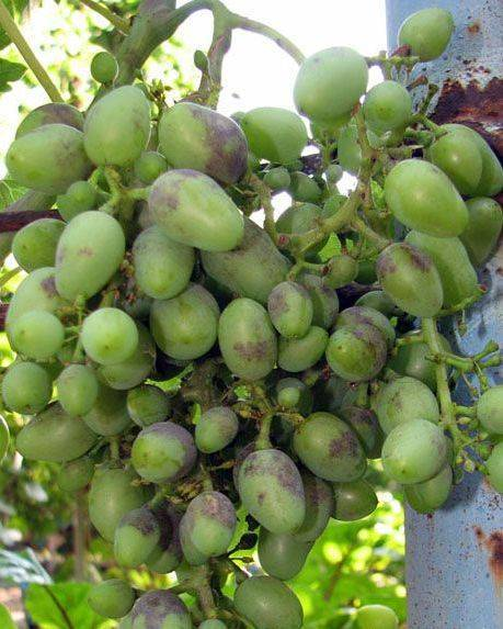 Милдью виноградов