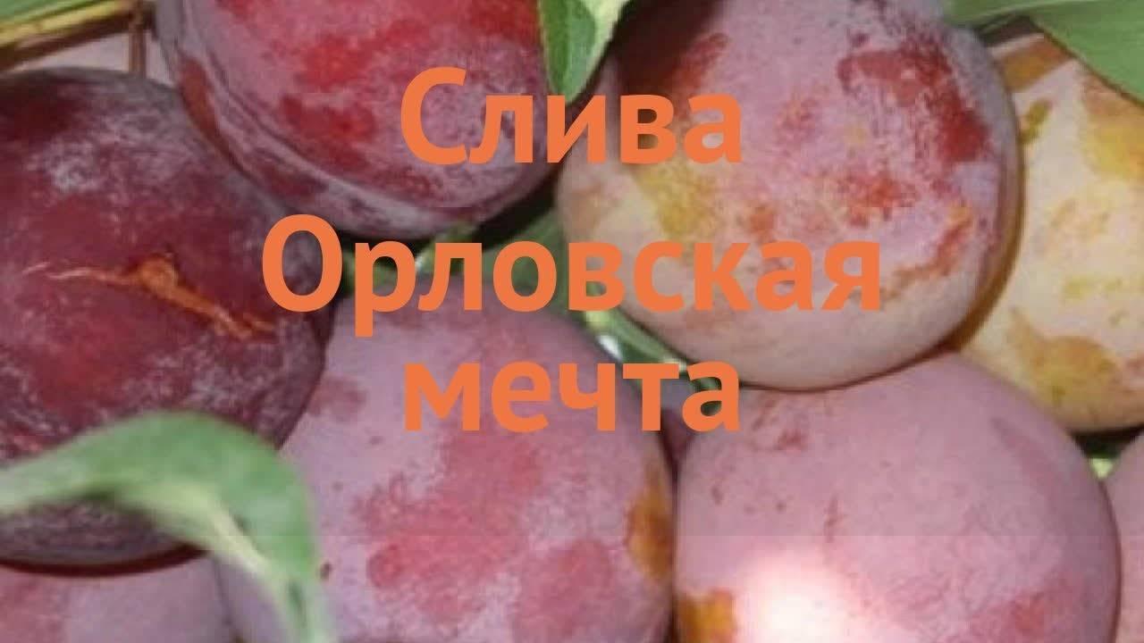 Слива орловская мечта описание сорта фото отзывы