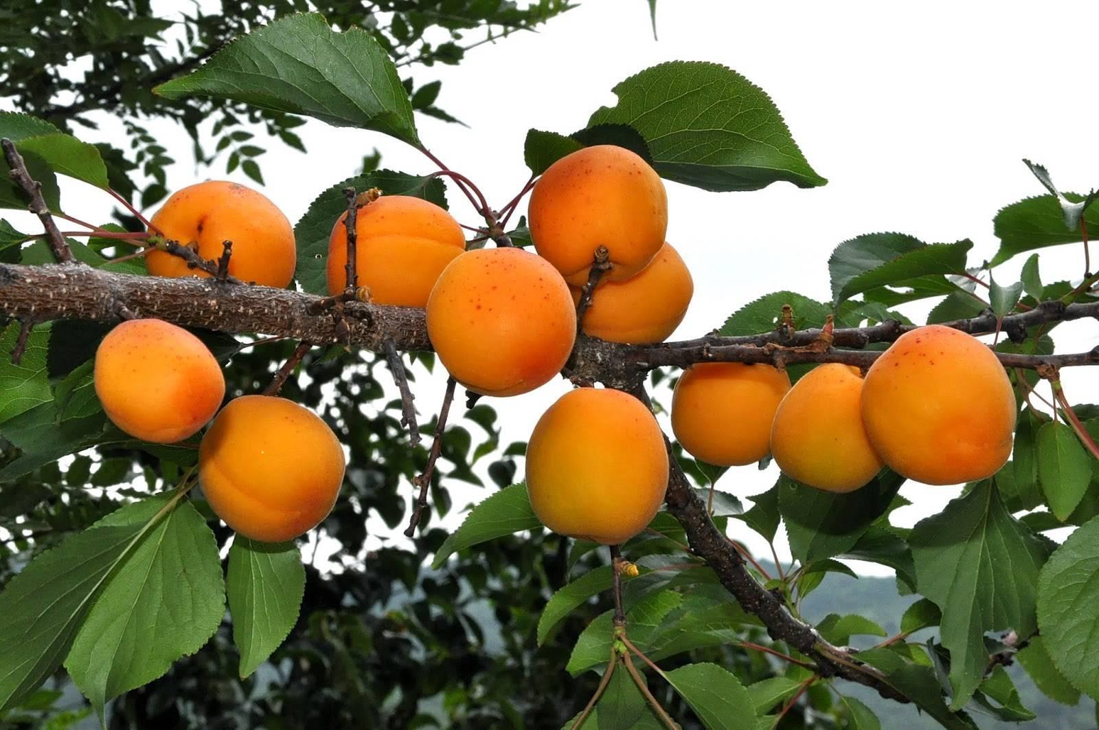 Особенности посадки и ухода за сортом абрикоса амур