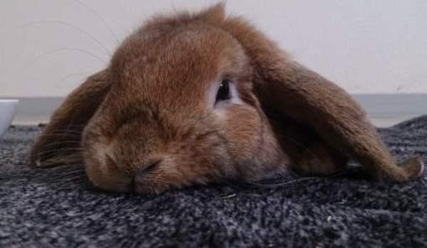 Почему кролик не ест и не пьет? кролик ничего не ест?что делать? кролик вялый не ест из глаз.