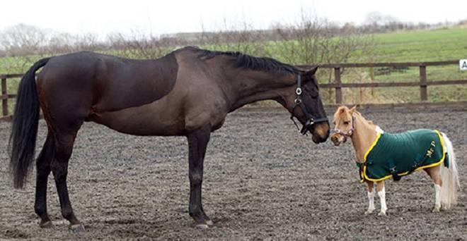 Мини-лошадь – необычная карликовая порода 2020