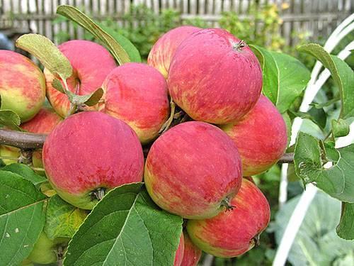 Описание сорта яблони белый налив
