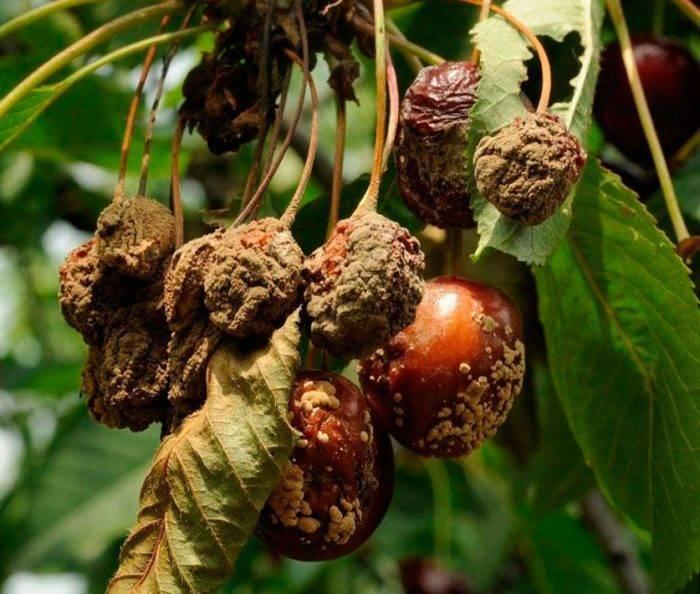 Монилиальный ожог вишни и черешни: как распознать и бороться?