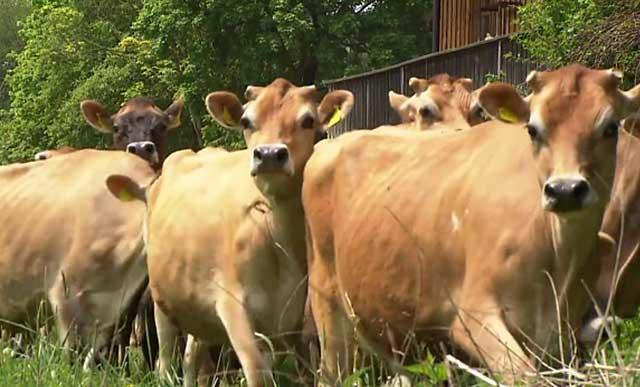 Что делать, чтобы корова не брыкалась, не билась и ее можно было подоить