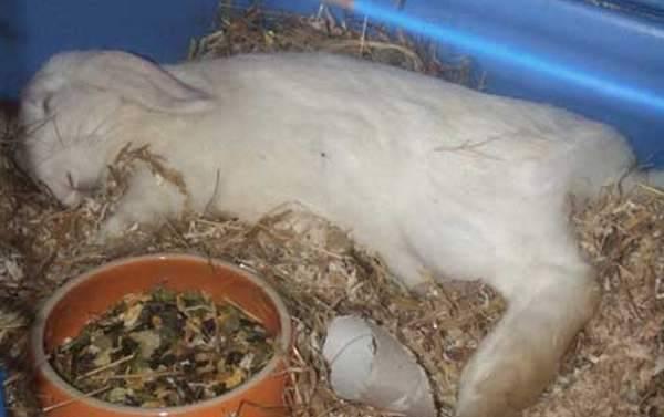 Болезни кроликов, их симптомы и лечение