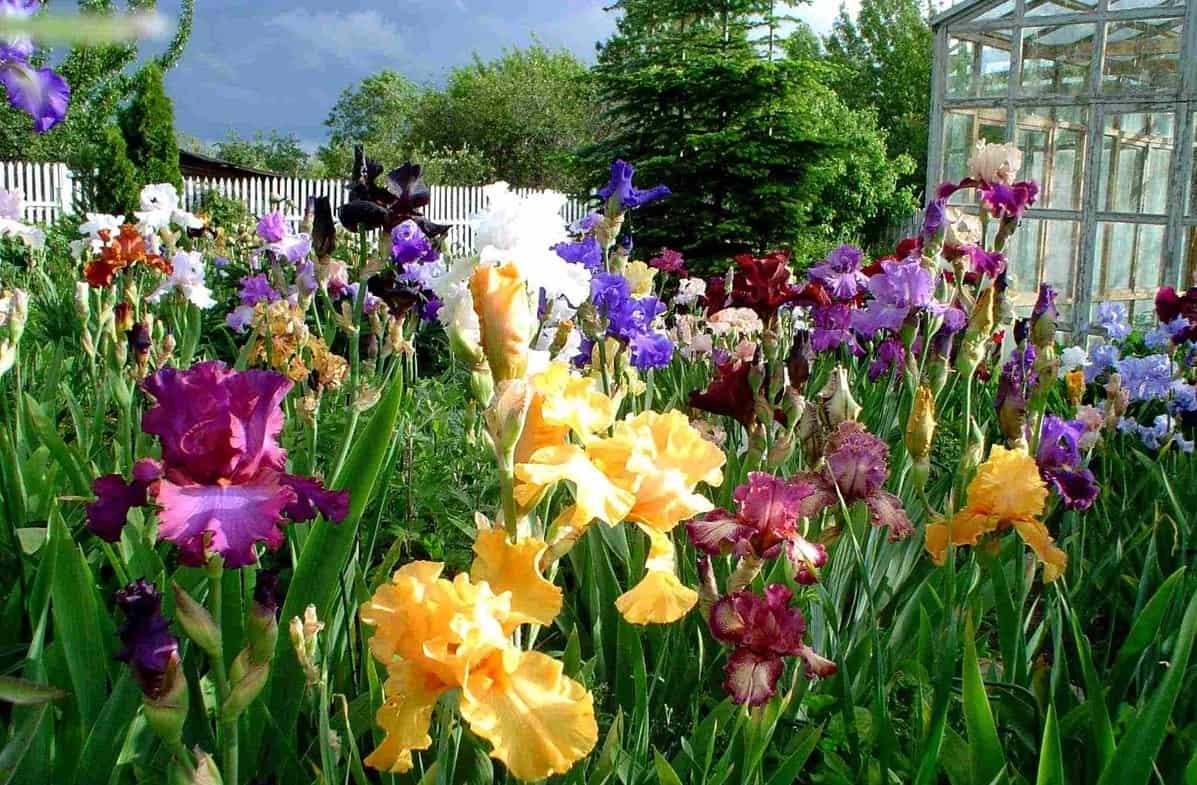 Пересадка ирисов весной и осенью: правила