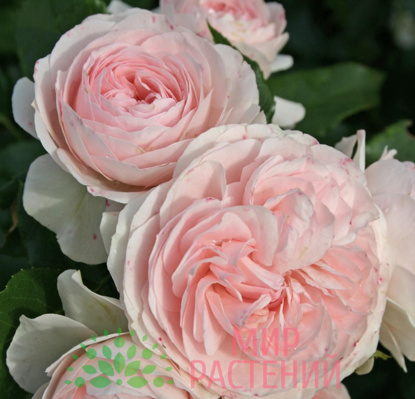 Самые ранние сорта роз для средней полосы и подмосковья
