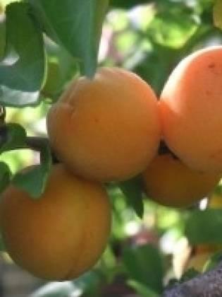 Подробно о сливе. выращивание, полезные свойства и выбор сорта