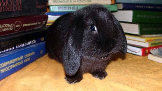 Кролик новозеландский: особенности породы, содержание и разведение
