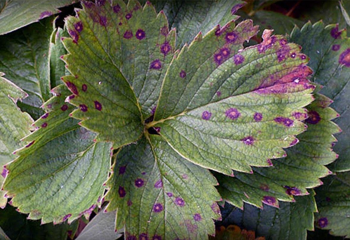 Болезни клубники: описания заболеваний и способы борьбы с ними