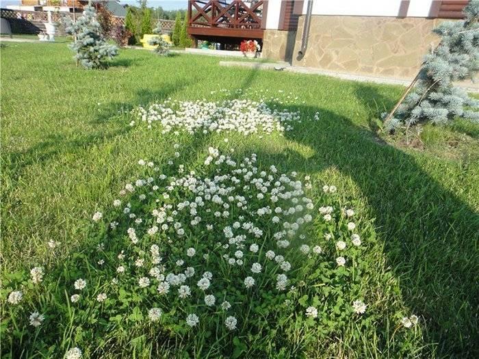 Можно ли посеять клевер по траве