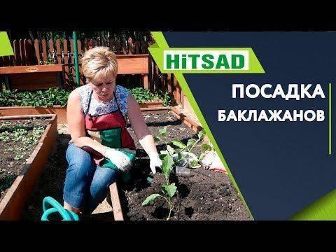 Как правильно посадить рассаду баклажанов в грунт или теплицу