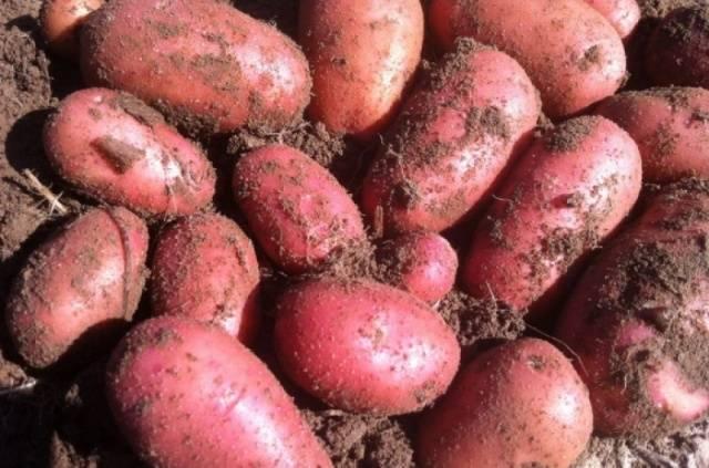 Сорт картофеля джувел и все о нем