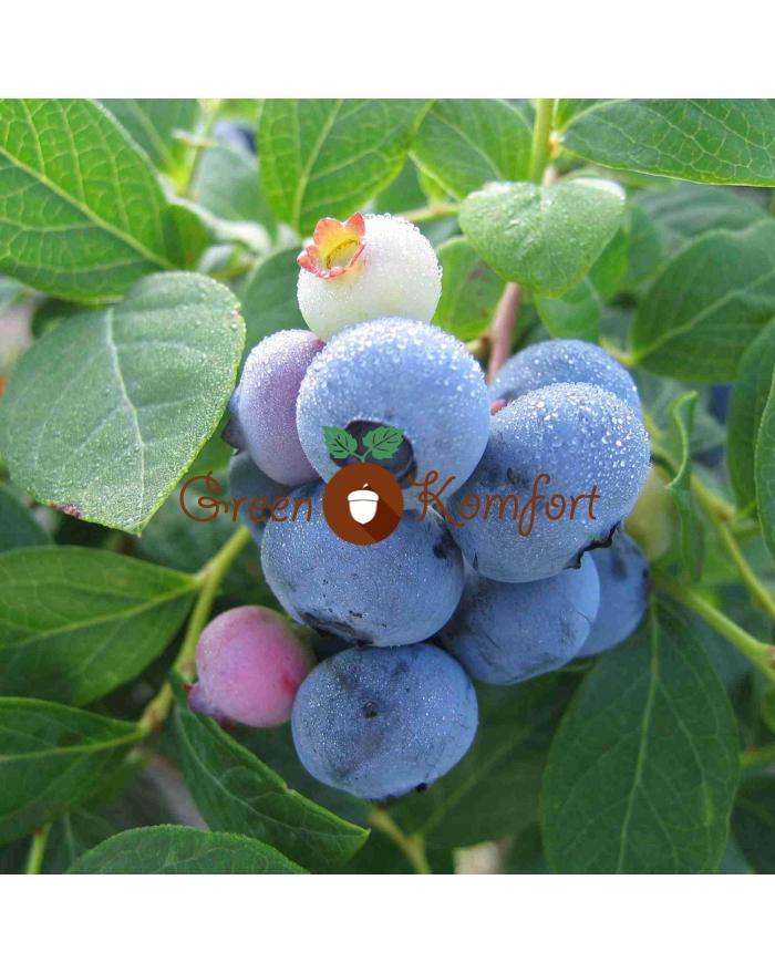 Самые урожайные сорта садовой голубики, выращиваемые в россии, беларуси и украине