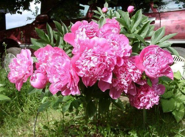 Уход за пионами после цветения. обрезка, пересадка, фото
