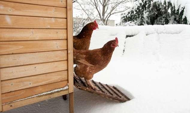 Кормление кур в домашних условиях: нормы и рацион питания