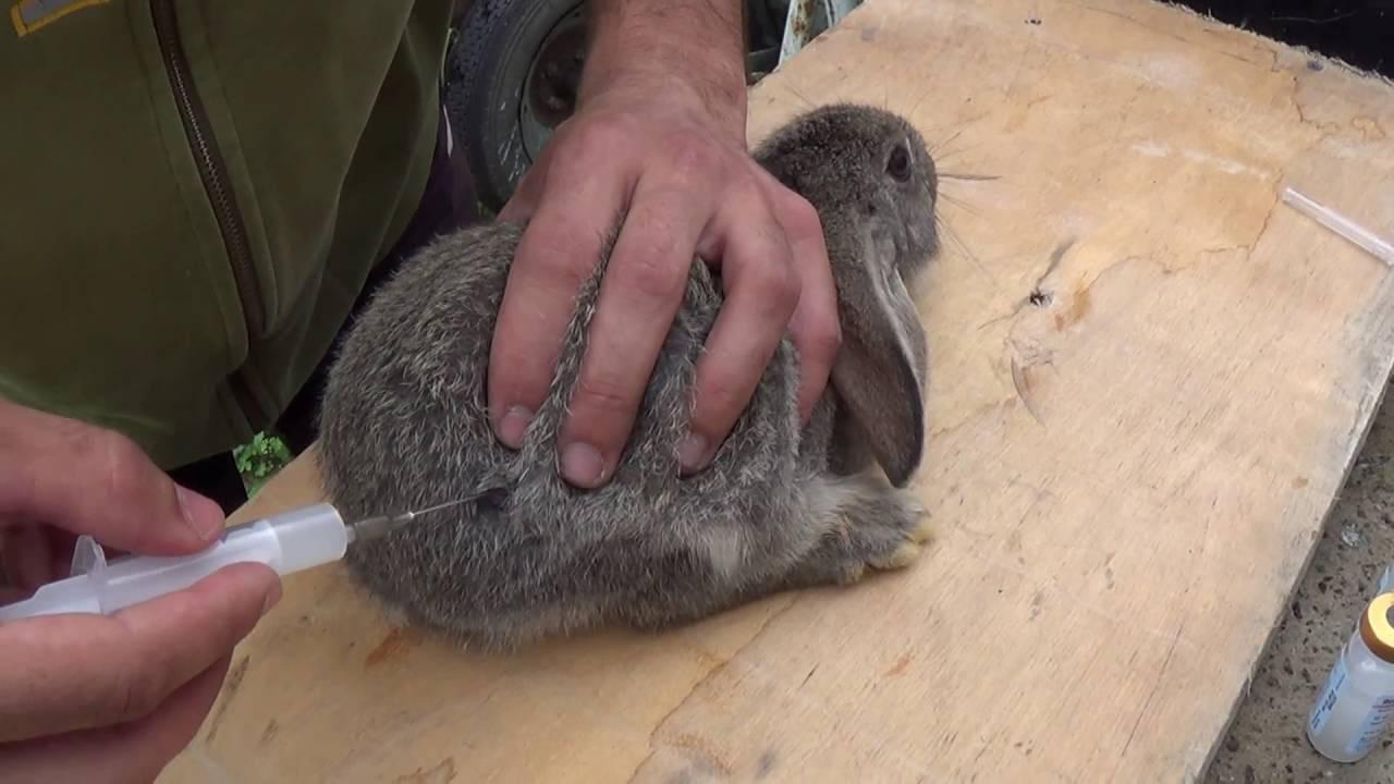 Какие прививки и когда делать крольчатам