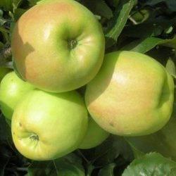 Яблоня богатырь: описание сорта, особенности выращивания