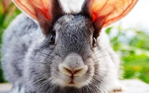 Ушной клещ у кроликов: лечение в домашних условиях народными средствами