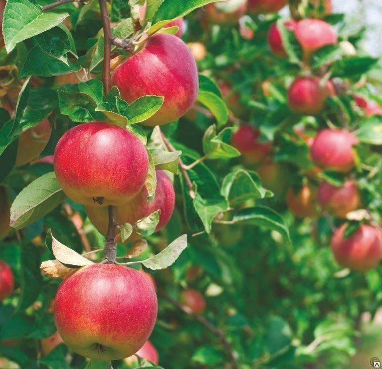 Декоративная яблоня с красными листьями в ландшафтном дизайне — 10 лучших сортов