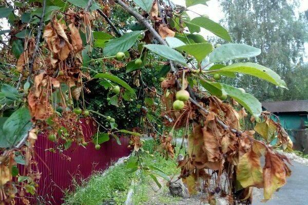 Монилиоз вишни — признаки, причины развития, методы лечения, профилактика