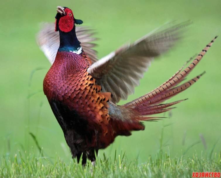 Основы домашнего разведения фазанов
