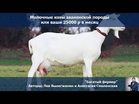 Зааненские козы – описание молочной породы 2020