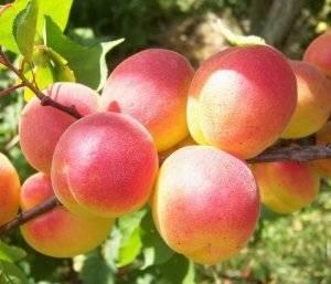 Особенности выращивания абрикосов на урале