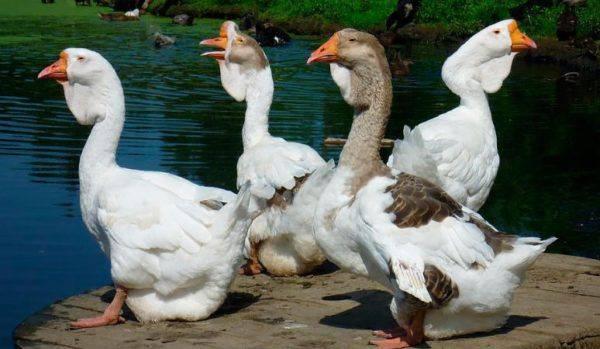 О породе уральского серого гуся: описание, характеристики, выращивание