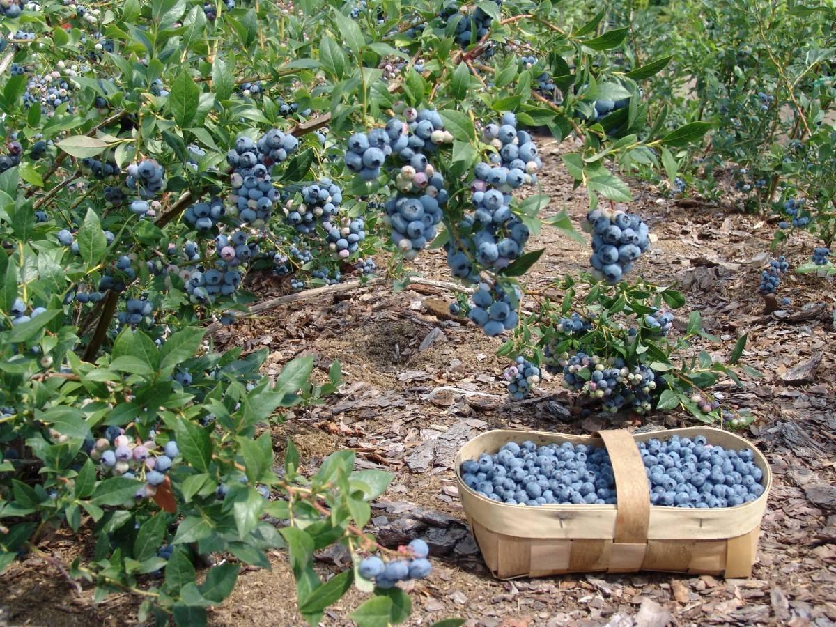 Выращивание голубики в подмосковье посадка и уход — ягоды грибы