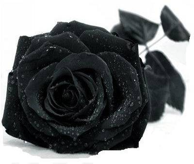 Черная роза значение
