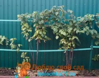 Выращивание ремонтантной малины: посадка, уход, обрезка