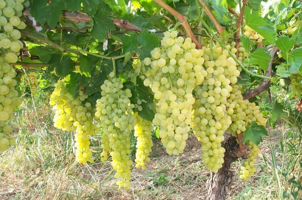 Ошибки при внесении удобрения для винограда