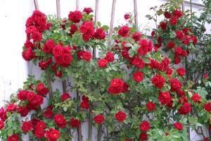Роза фламентанц: потрясающий каскад красных цветов