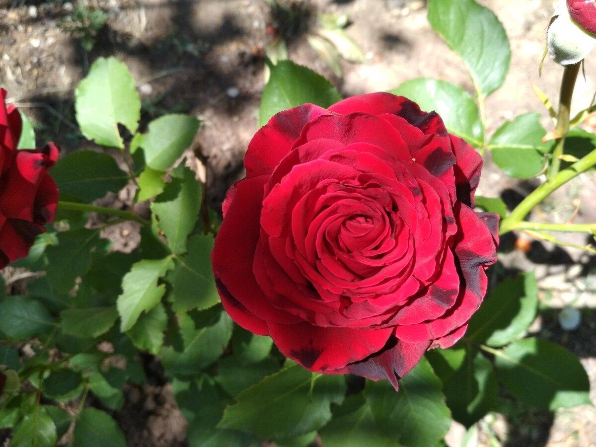 Уход за розами весной на даче после зимы пошагово: подкормка, подрезка, обработка