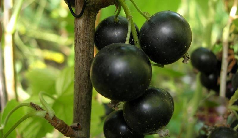 Черная смородина: посадка и уход, фото, обрезка, размножение, описание сортов