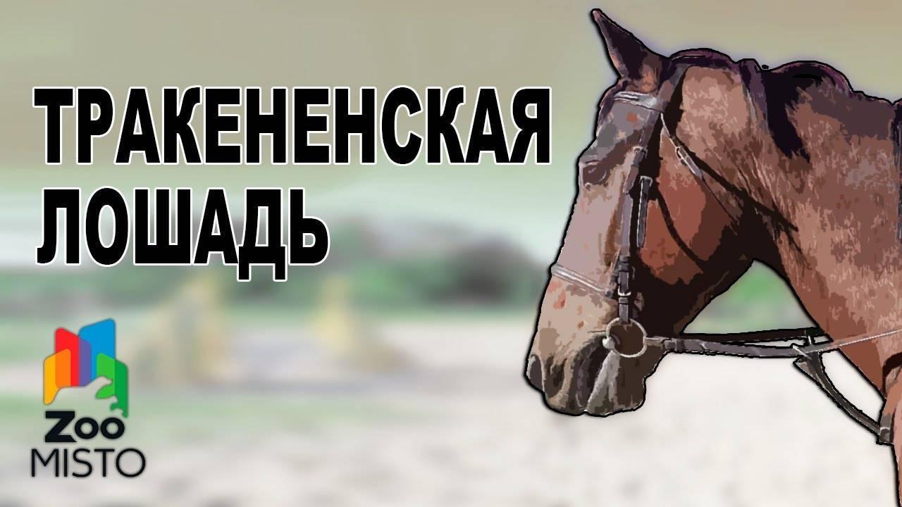 Тракененская порода лошадей: характеристика и выращивание